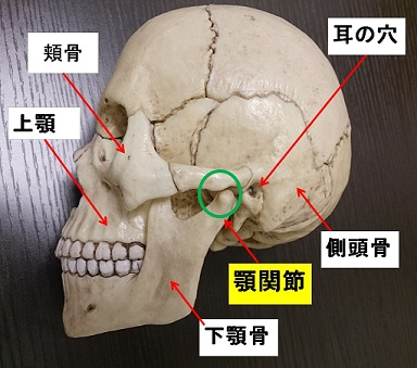 顎関節の周辺の骨について