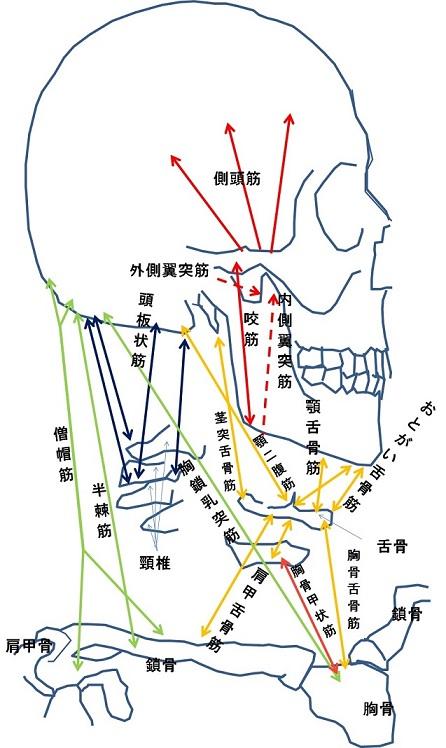 顎周辺の筋肉の説明図