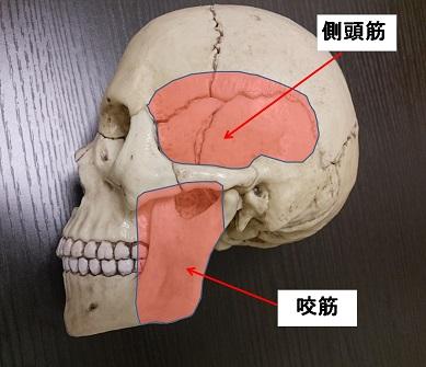 顎の筋肉(咬筋、側頭筋)の説明図