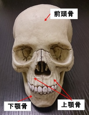 頭の骨 正面から見た図