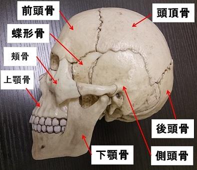 頭の骨 横から見た図